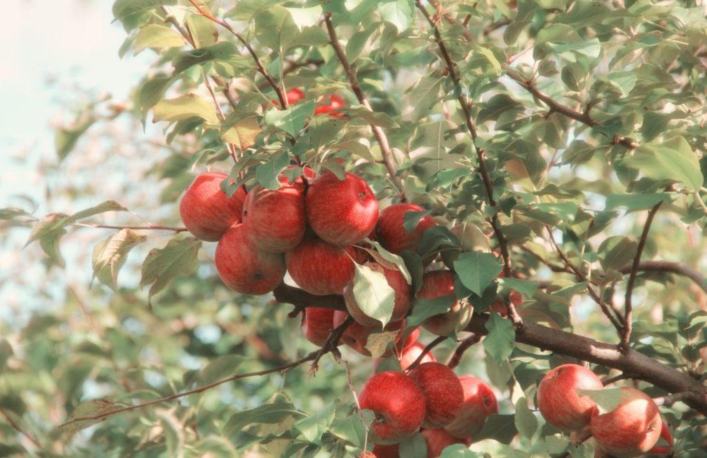 Jabłka są bogate w liczne wartości odżywcze i nieocenione właściwości zdrowotne